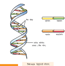 Structure of DNA double helix model